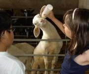 niños mamar cordero